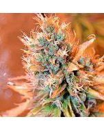 Blue Medi Kush Spliff Seeds