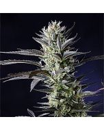 Dutch Blue Automatic Feminised Spliff Seeds
