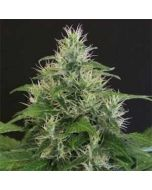 Lemon Candy Exotic Seeds (3 Gefeminiseerde Zaden)