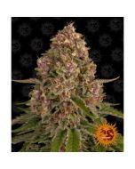 Pink Kush Cannabis Seeds