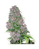 Purple Bud Gefeminiseerd
