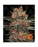 Purple Punch Auto Cannabis Seeds