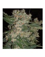 Santa Maria No Mercy Seeds