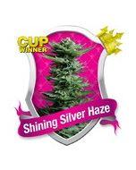 Shining Silver Haze Royal Queen