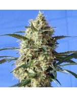 Snow White Feminised Spliff Seeds