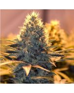 Cheese Feminised Spliff Seeds