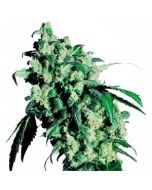 Super Skunk 10 Zaden Regulier