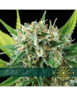 Amnesia Vision Seeds