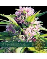 Blue Power Vision Seeds