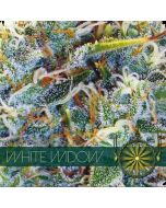 White Widow Vision Seeds