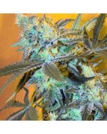 White Widow Feminised Spliff Seeds