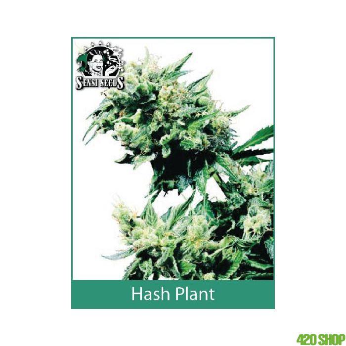 Hash Plant Sensi Seeds (Indoor / Regular)