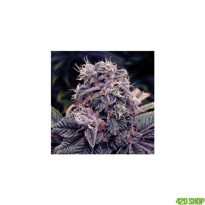 Blue Berry Feminised Spliff Seeds