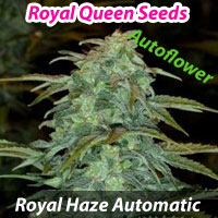 Royal Haze Automatic - Royal Queen