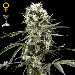 Super Lemon Haze - Green House Seeds