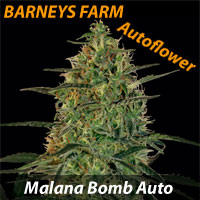Malana Bomb Autoflower - Barneys Farm