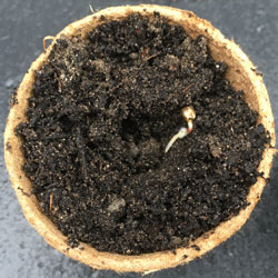 The root of the seedling