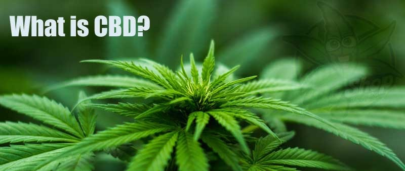 image of a weedplant with the question: What is CBD